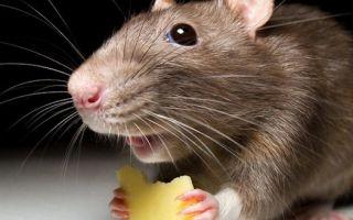 Как избавиться от крыс и мышей в гараже