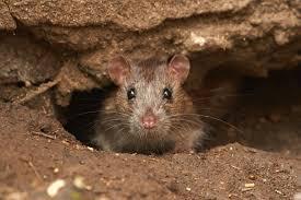 крыса в дыре полу гаража